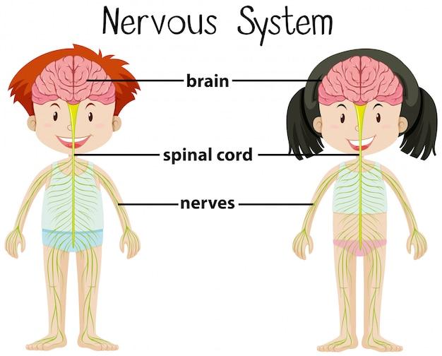 Sistema nervoso di ragazzo e ragazza Vettore Premium
