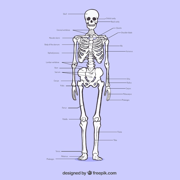 Sistema osseo sketchy Vettore gratuito