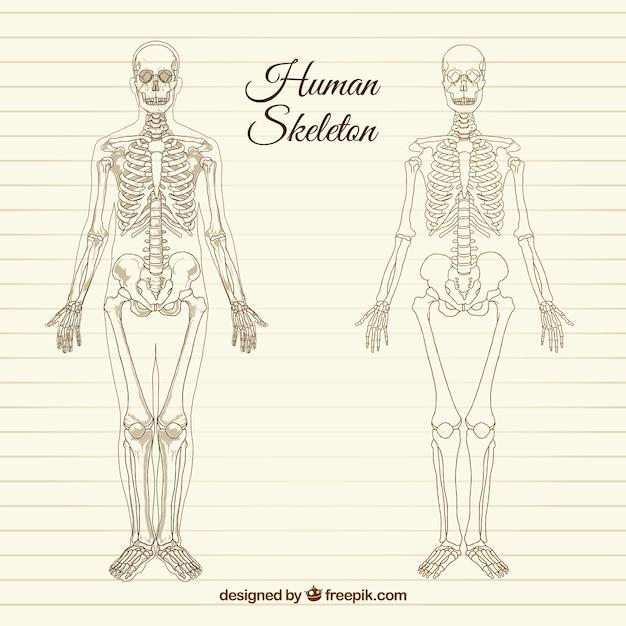 Sketchy scheletro umano Vettore gratuito