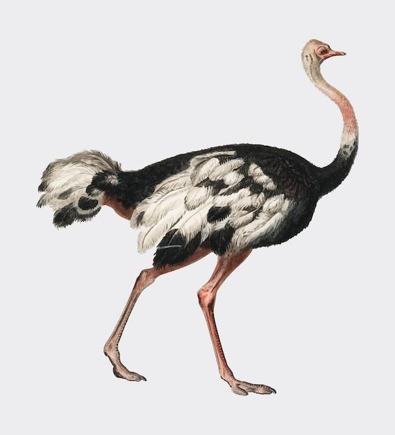 Struzzo comune (struthio camelus) illustrato Vettore gratuito