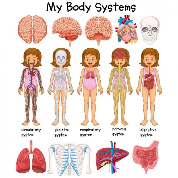 Studio del corpo umano Vettore Premium