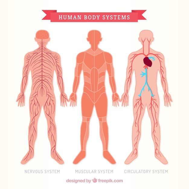 Tre sistems corpo umano Vettore Premium