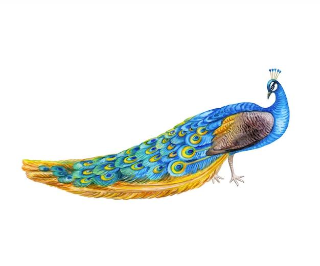 Uccello di pavone isolato. acquerello Vettore Premium