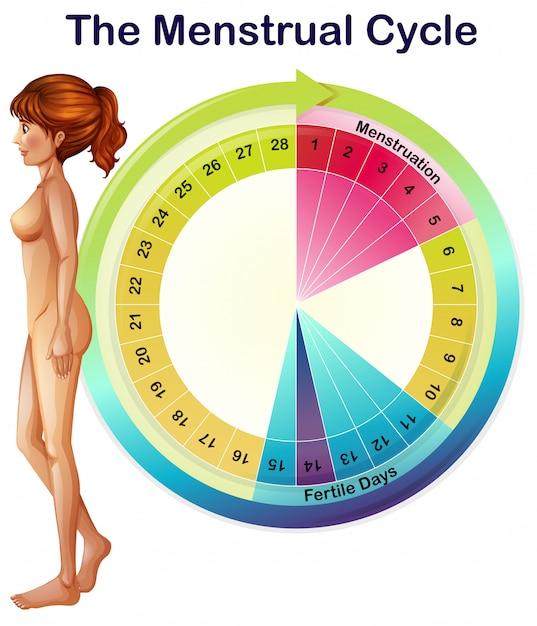 Un vettore del ciclo mestruale Vettore Premium