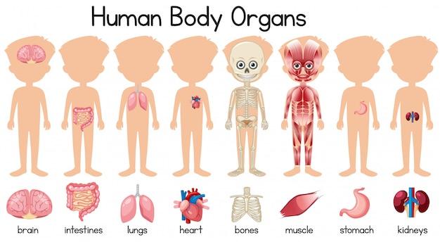 Una serie di organi del corpo umano Vettore Premium