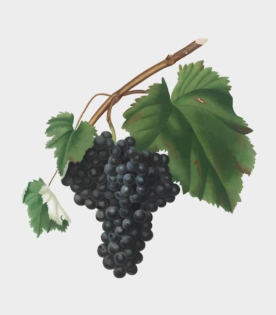 Uva nera di canaiolo dall'illustrazione di pomona italiana Vettore gratuito