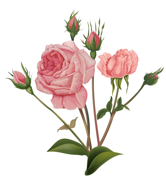 Vettore di fiori rose rosa Vettore Premium