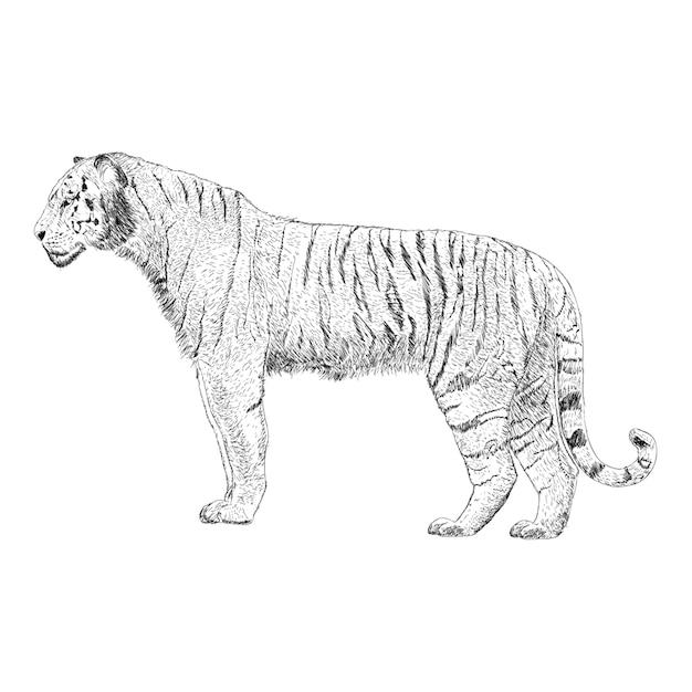 Vettore disegnato a mano dell'illustrazione della tigre Vettore Premium
