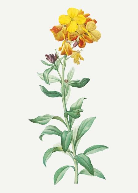 Wallflower giallo in fiore Vettore gratuito