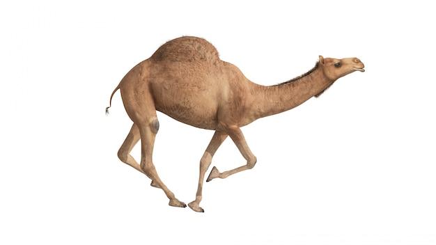 3d geef kameel terug lopend op wit Premium Foto