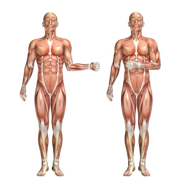 3d mannelijke medische figuur die de externe en interne rotatie van de schouder toont Gratis Foto