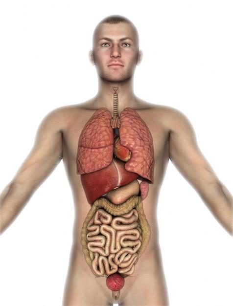 3d render van een mannelijke figuur met interne organen bloot Gratis Foto