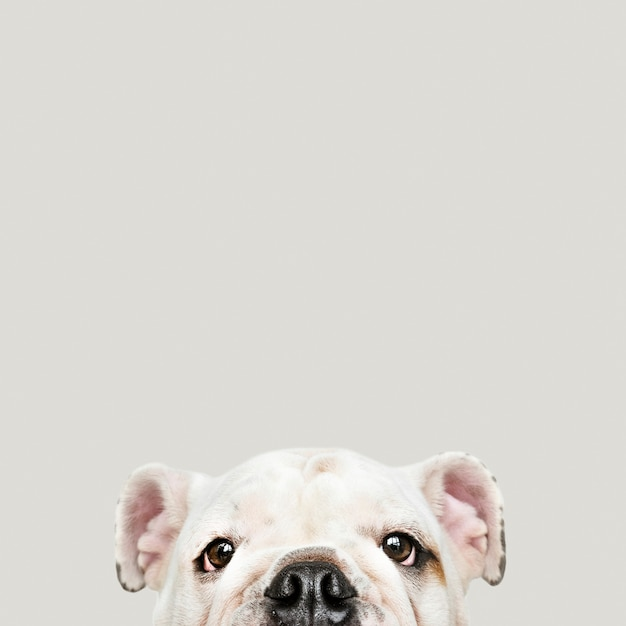 Aanbiddelijk wit het puppyportret van de buldog Gratis Foto