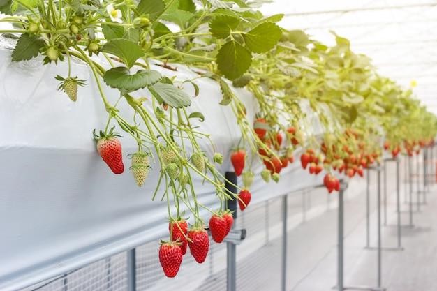 Aardbeifruit in kinderdagverblijfaanplanting in japan Premium Foto
