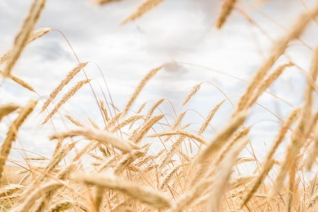 Aartjes van tarwe op een veld op een boerderij tegen de achtergrond van een blauwe hemel Premium Foto