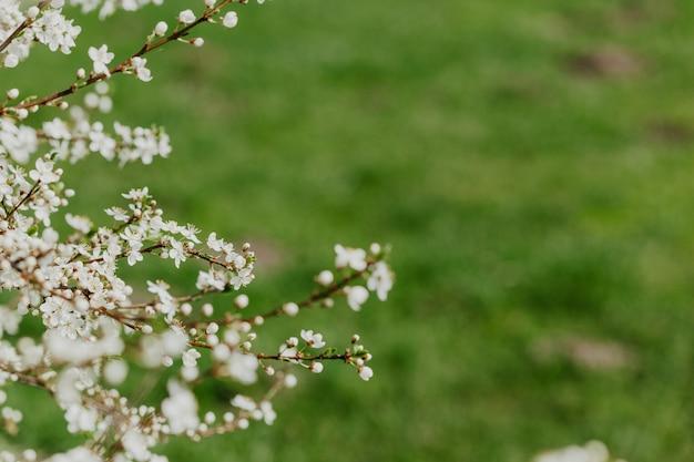 Abrikoos bloesem. frisse lente Premium Foto