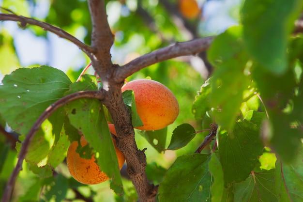 Abrikoos fruitboom en bladeren. zijaanzicht. Gratis Foto