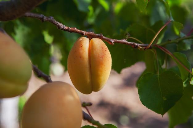 Abrikoos fruitboom met bladeren. zijaanzicht. Gratis Foto