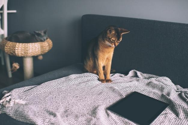 Abyssinian kat kijken op tablet-scherm Premium Foto
