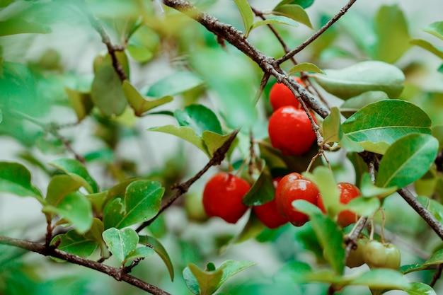 Acerolavruchten op tuin Premium Foto