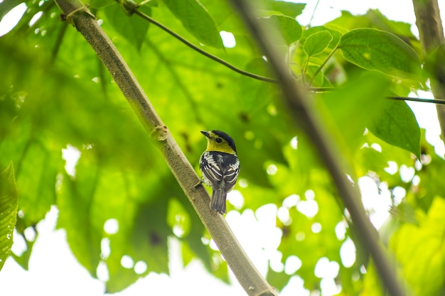 Achterdiemening van zangvogel op boomtak wordt neergestreken in regenwoud Gratis Foto