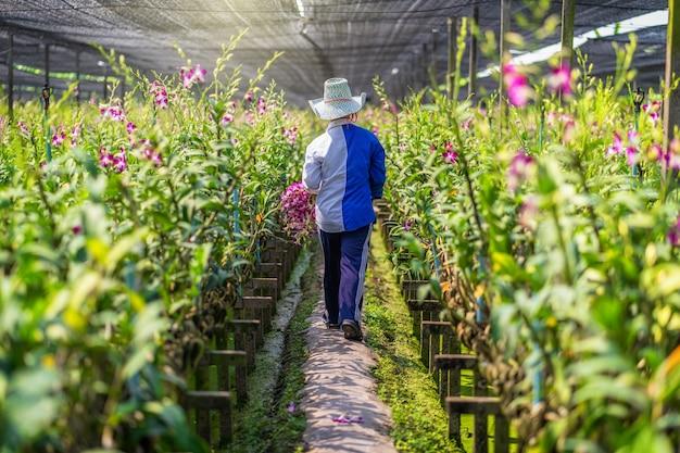 Achtereind van aziatische tuinman van orchidee het tuinieren landbouwbedrijf die en de orchideeën snijden verzamelen, de purpere kleuren in bloei in het tuinlandbouwbedrijf, purpere orchideeën in de landbouw van bangkok, thailand. Premium Foto