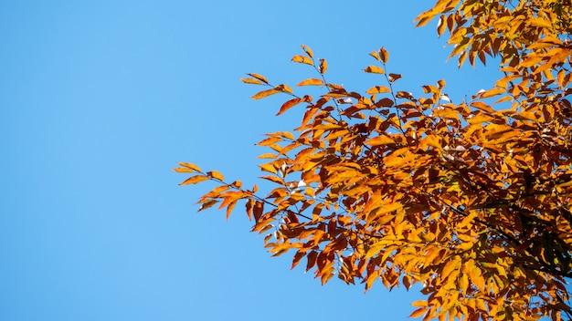 Achtergrond de herfstbladeren in japan Premium Foto
