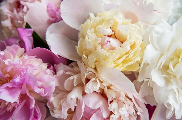 Achtergrond met roze pioenrozen als een natuurlijke achtergrond Premium Foto