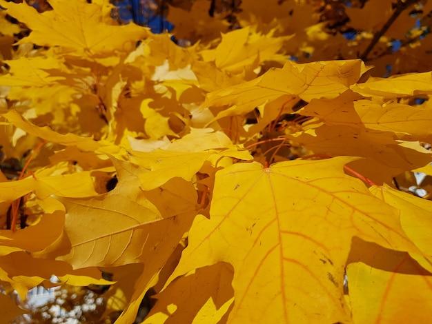 Achtergrond van de de herfst de natuurlijke verkoop met gevallen esdoorn Premium Foto