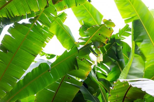 Achtergrond van groene banaanbladeren, bos. Gratis Foto