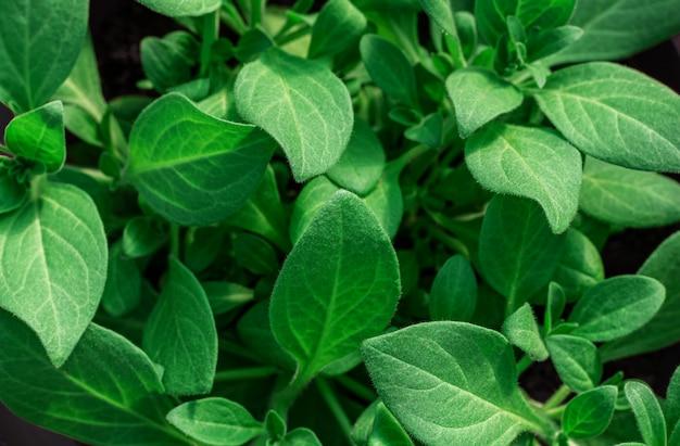 Achtergrond van groene bladeren, close-up. zaailingen van petunia's. Premium Foto