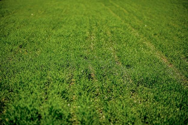 Achtergrond van het groene veld. groene grastextuur voor achtergrond Premium Foto