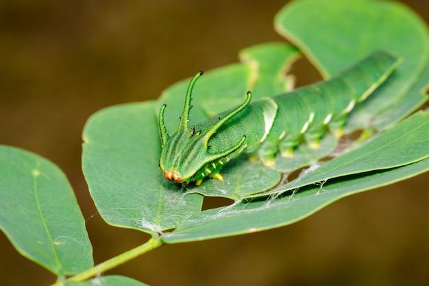 Afbeelding van caterpillar van gemeenschappelijke nawab vlinder (polyura athamas) of dragon-headed caterpillar op aard. insect. dier. Premium Foto