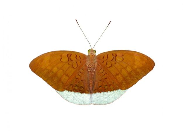 Afbeelding van mannelijke gemeenschappelijke graaf vlinders (tanaecia julii odilina) geïsoleerd op een witte achtergrond Premium Foto