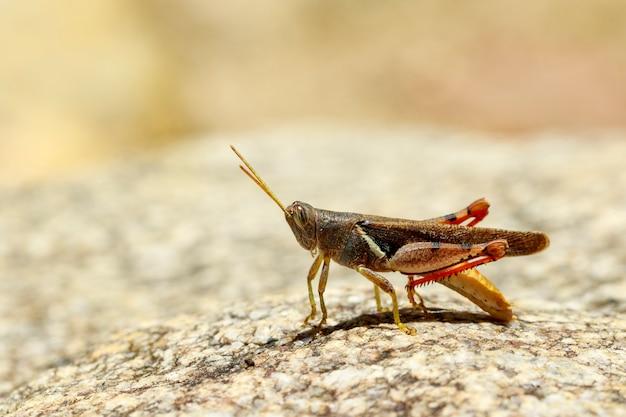 Afbeelding van wit-gestreepte sprinkhaan (stenocatantops splendens) op de rots. insect. dier. Premium Foto