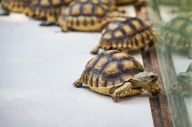 Afrikaanse aangespoorde schildpad. sluit omhoog schildpad lopend in landbouwbedrijf Premium Foto