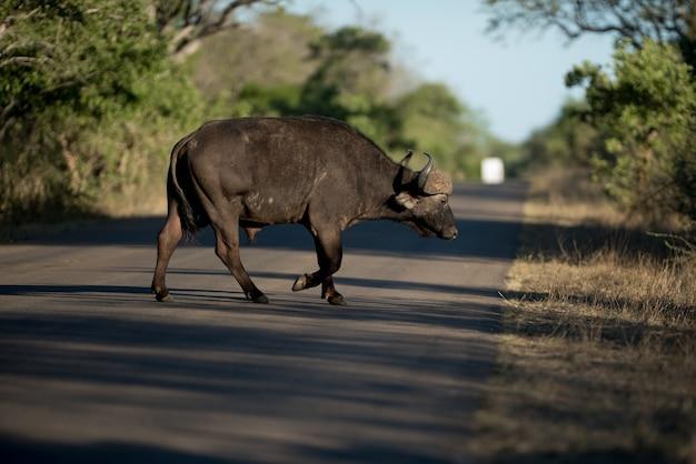 Afrikaanse buffels die de weg met een vage achtergrond kruisen Gratis Foto