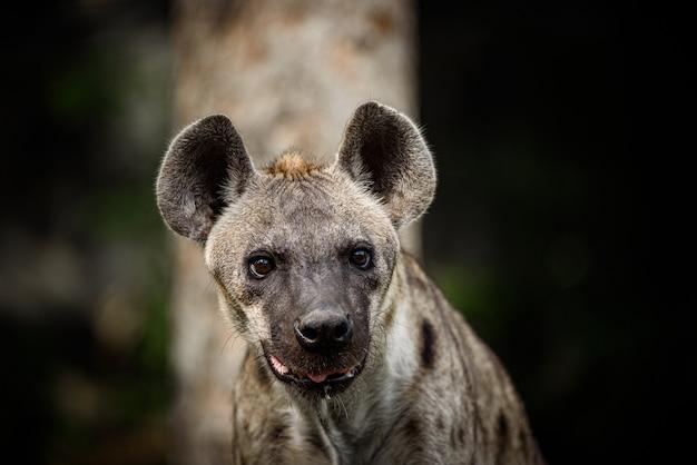 Afrikaanse jachthond die op het pad loopt. latijnse naam - lycaon pictus Premium Foto