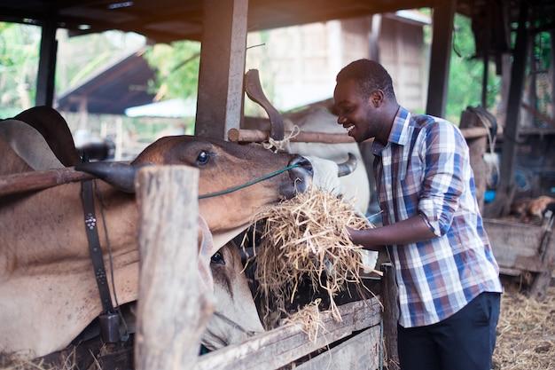 Afrikaanse landbouwer die droog voer geeft aan koeien in stal Premium Foto