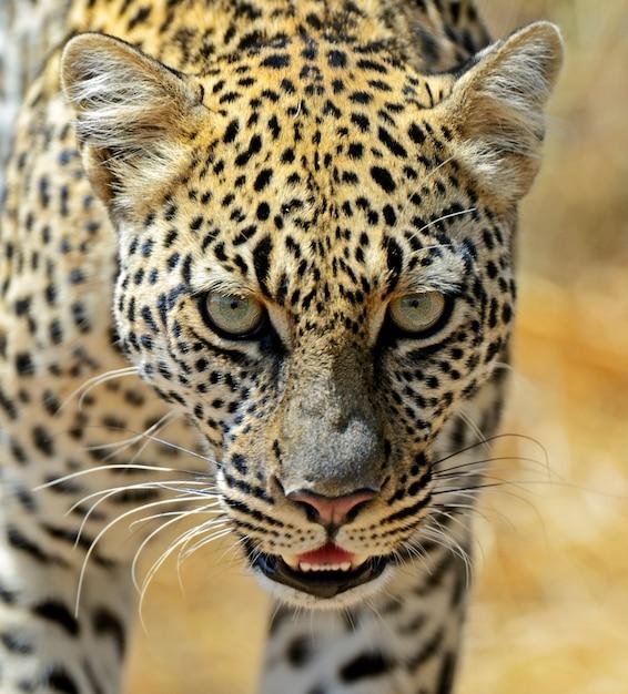 Afrikaanse luipaard in samburu national park. kenia Premium Foto