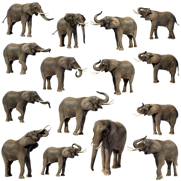 Afrikaanse olifant geïsoleerd Premium Foto