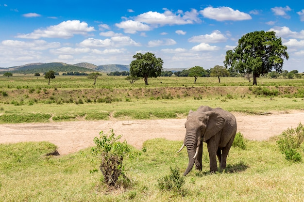 Afrikaanse olifant in masai mara national park. kenia, afrika. Premium Foto