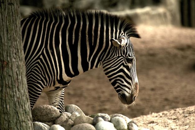 Afrikaanse zebra Gratis Foto