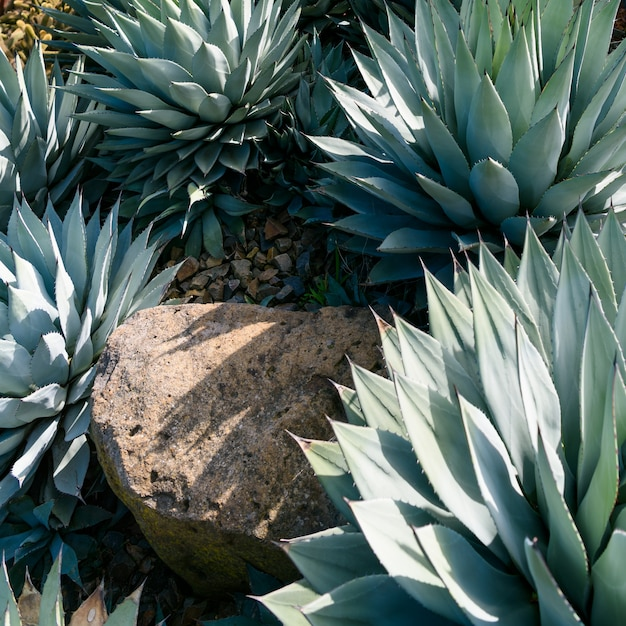Agave parryi close-up Gratis Foto