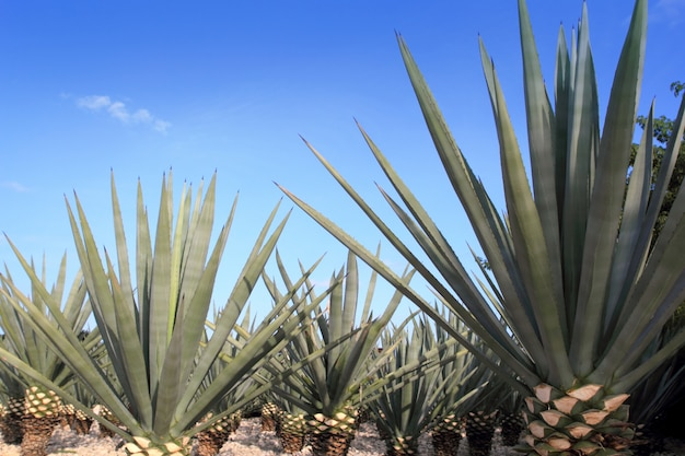 Agave tequilana plant voor mexicaanse tequila-likeur Premium Foto