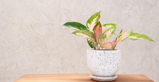 Aglaonema kamerplant (chinese evergreen) in moderne witte en zwarte keramische container op houten tafel met cement muur achtergrond Premium Foto
