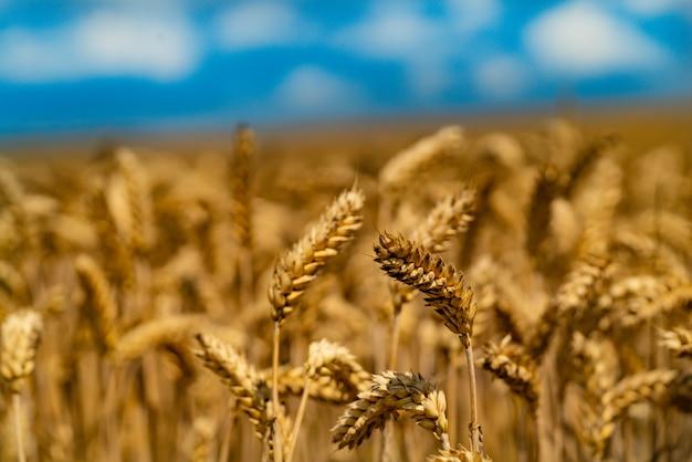 Agrarische tarweveld Premium Foto