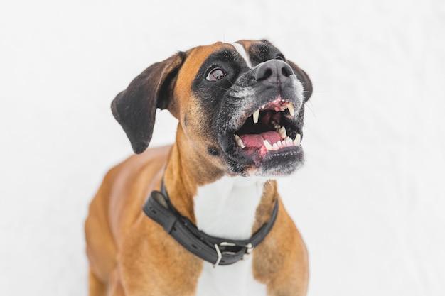 Agressieve hond zittend op de sneeuw. bruine stamboomhond. bokser Premium Foto