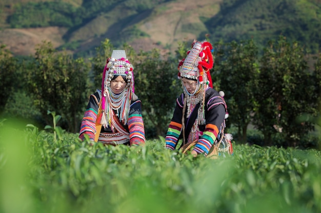 Akha vrouwen uit thailand die theeblaadjes plukken op theeplantage in chui fong, chiang rai, t Premium Foto