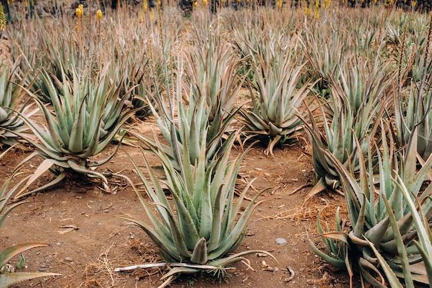 Aloë vera plantage-veel groene planten op het eiland tenerife, canarische eilanden, spanje. Premium Foto
